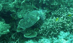 Turtle at Renggis