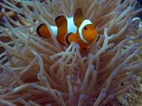 Beautiful clownfish in the safety of sea anemones